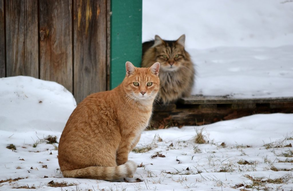 Feral Cats: Surviving Winter