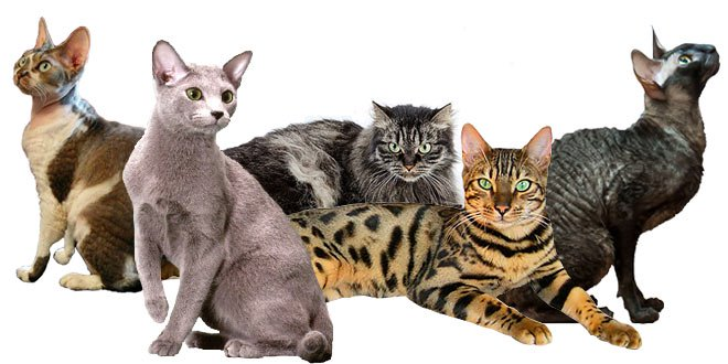 Hypoallergenic Cats: Ultimate Cat Breed List